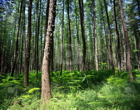Pine forest stock photo, Wide-angle shot of pine forrest with fern underneath trees by Natalia Macheda