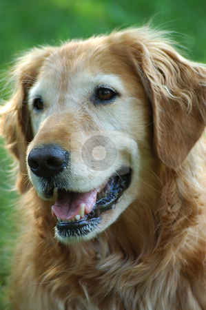 Smiling Golden Retriever stock photo, Close-up of a golden retriever by Tim Elliott