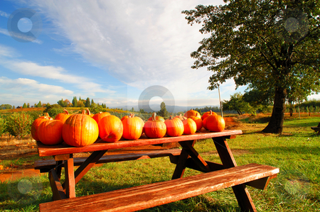 Pumpkins On A Bench stock photo, Pumpkins on a picnic bench at a farm available for sale to the public with rolling hills and orchards in the background with a bright blue sky. by Lynn Bendickson