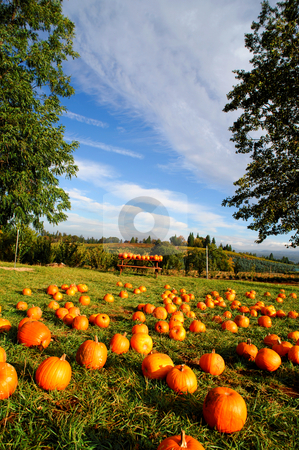 Pumpkin Patch stock photo, Pumpkins layed out in a farm grassy area available for sale to the public with rolling hills and orchards in the background with a bright blue sky. by Lynn Bendickson