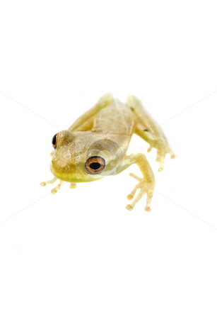 Baby Tree Frog 09-02 stock photo, Baby tree frog isolated on a white background in studio by A Cotton Photo