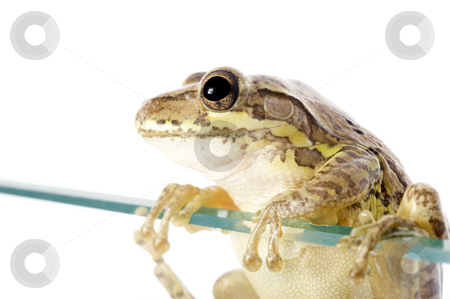Cuban Tree Frog Invading stock photo, Cuban Tree Frog (Osteopilus septentrionalis), an invasive species in the United States, climbs over a glass wall. Conceptualizing the species invasion on a white background. by A Cotton Photo
