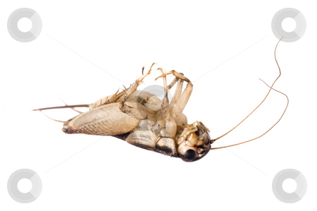 Dead House Cricket 09-01 stock photo, Dead Common House Cricket (Acheta domesticus) isolated on a white background by A Cotton Photo
