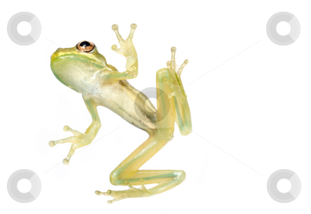 Baby Tree Frog Belly stock photo, Baby tree frog from underneath isolated on a white background in studio by A Cotton Photo