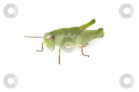 Grasshopper Side View stock photo, Side view of a Florida purple striped grasshopper (Hesperotettix floridensis) nymph isolated on white by A Cotton Photo
