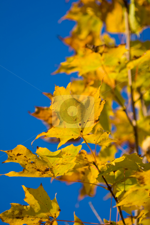 Yellow Maple Leaves stock photo, Yellow Maple Leaves against a clear blue sky by Kevin Kratka