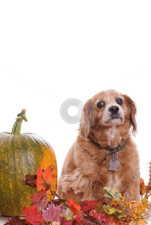 Dog Fall Portrait stock photo, An elderly Cockapoo dog is posing for his fall portrait next to a large pumpkin, isolated against a white background along with extra copyspace at the top by Richard Nelson