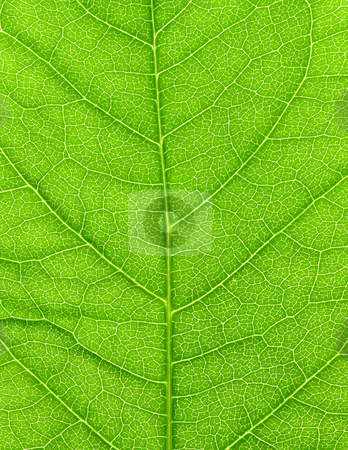 Vibrant green leaf macro close up natural background.  stock photo, Vibrant green leaf macro close up natural background. by Stephen Rees