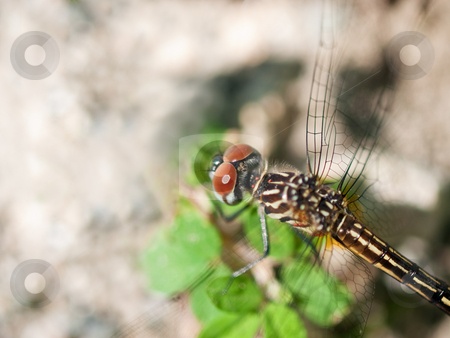 Dragonfly Macro stock photo, Dragonfly by Jim DeLillo