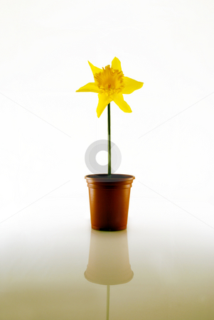 Daffodil on White stock photo, Daffodil in pot against white with reflection plus copy space by Paul Inkles
