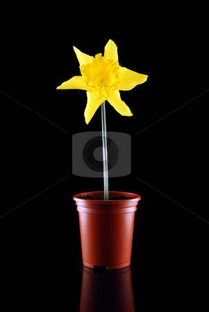 Daffodil on Black stock photo, Daffodil in pot against black with reflection plus copy space by Paul Inkles