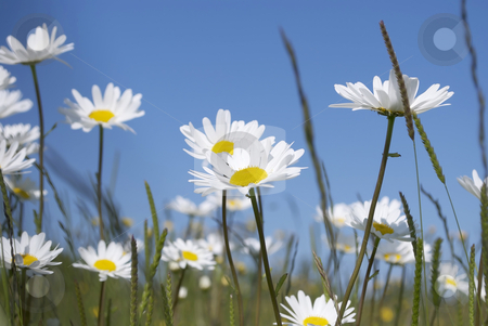 Daisy stock photo, Royalty free stock image of a close up of spring daisies against a clear blue sky by Paul Inkles