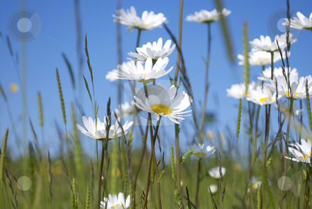 Daisies stock photo, Royalty free stock image of a collection of spring daisies against a clear blue sky by Paul Inkles