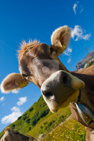 Alpine cow on green meadow stock photo, Alpine cow on a green meadow. Very close view by Peter Kirillov