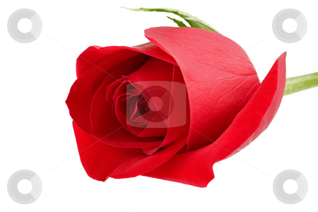 Rose stock photo, Single rose close up by Barna Tanko