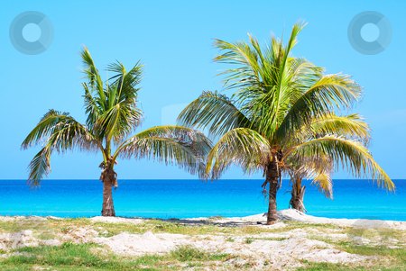 Palm trees in a sandy beach stock photo, Palm trees in a sandy beach with clear blue water by Karel Miragaya