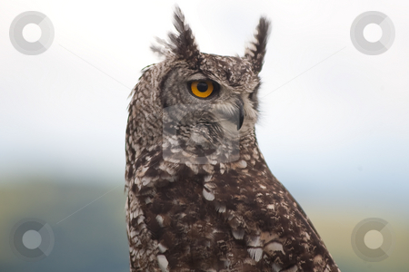 OWL EYES stock photo, Owl left rear view looking over its shoulder with striking yellow eyes by Ian Genis