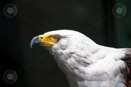 FISH EAGLE stock photo, FISH EAGLE HEAD AND SHOULDER SIDE VIEW with sunlight reflection in eye by Ian Genis