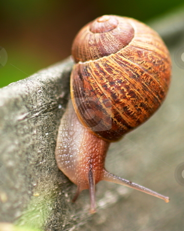 Snail stock photo, Single brown snail walking along very slowly by Henrik Lehnerer