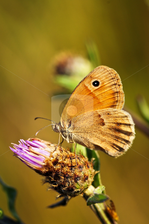 Meadow brown butterfly on Knapweed stock photo, Close up of meadow brown butterfly on knapweed flower by Elena Elisseeva
