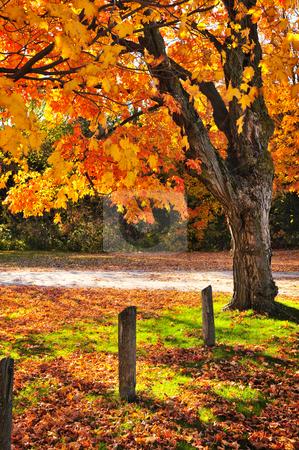 Autumn maple tree near road stock photo, Colorful fall maple tree near rural road by Elena Elisseeva