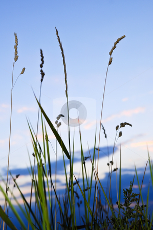 Grass at sunset stock photo, Seeding tall green grass in sunset meadow by Elena Elisseeva