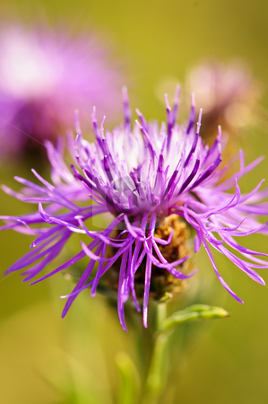 Knapweed flower stock photo, Close up view of purple knapweed flower by Elena Elisseeva