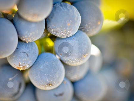 Red Grapes stock photo,  by Brandon Bourdages