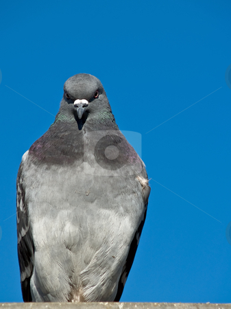Pigeons stock photo, Pigeons by Jim DeLillo