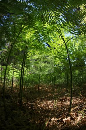 Miniature Fern Forest Amongst Fallen Pine Tree Needles stock photo, Miniature Fern Forest Amongst Fallen Pine Needles in the Wild: Fisheye Lens Shot by Katrina Brown