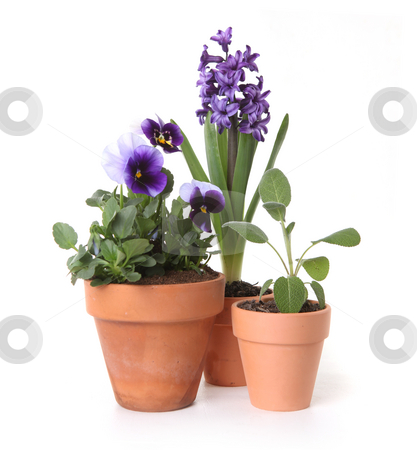 Colorful Spring Flowers of Pansies and Hyacinth in Pots stock photo, Colorful Spring Flowers of Pansies and Hyacinth in Pots on White Background by Katrina Brown