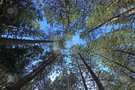 Extremely Tall Pine Trees in Nature stock photo, Tall Pine Trees From Perspective of the Forest Floor by Katrina Brown
