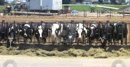 Row of Feeeding Cows stock photo, Row of Feeeding Cows at a Farm by Katrina Brown