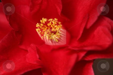 Red Camelia Rose With Extreme Depth of Field stock photo, Red Camelia Rose With Extreme Depth of Field in Soft Light by Katrina Brown