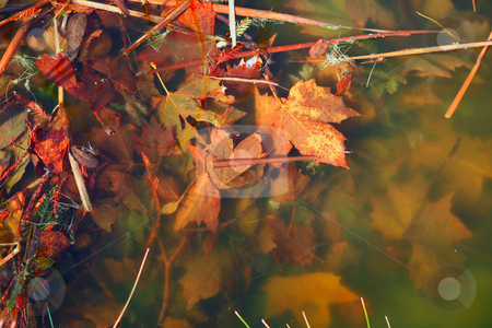 Murky River Water With Beautiful Fall Leaves Underwater stock photo, Murky Water With Beautiful Fall Leaves Entwined Together Underwater by Katrina Brown