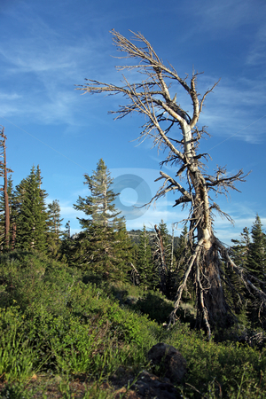 Beautiful Tree in the Sierra Mountains stock photo, Beautiful Dead Tree in the Sierra Mountains by Katrina Brown