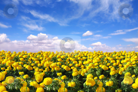 Bright Happy Field of Marigold Flowers stock photo, Bright Happy Field of Marigold Flowers With a Blue Cloudy Sky by Katrina Brown