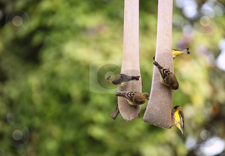 Yellow Finches Eating Outdoors From a Hanging Seed Holder stock photo, Yellow Finches Eating Outdoors From a Hanging Thistle Seed Holder by Katrina Brown