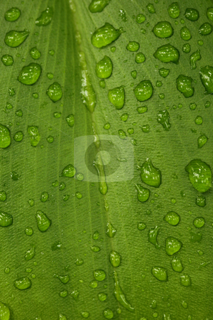 Green Leaf With Water Drop Texture stock photo, Green Leaf With Water Drops Lying on Top. Great Texture by Katrina Brown