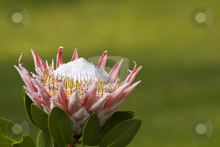 Blooming Flowers On Protea Flower Stock Photo With Green