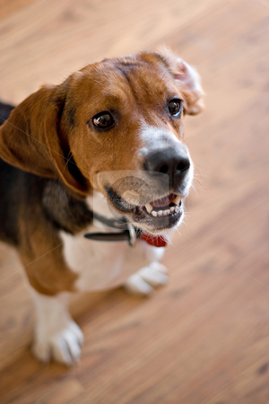 Purebred Beagle Dog stock photo, A cute purebred beagle with plenty of copy space. Shallow depth of field. by Todd Arena