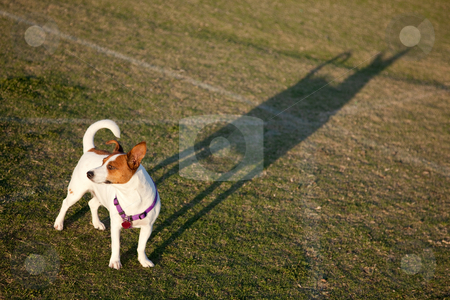 Jack Russell Terrier in the Park stock photo, Jack Russell Terrier in the Park Some Afternoon. by Andy Dean