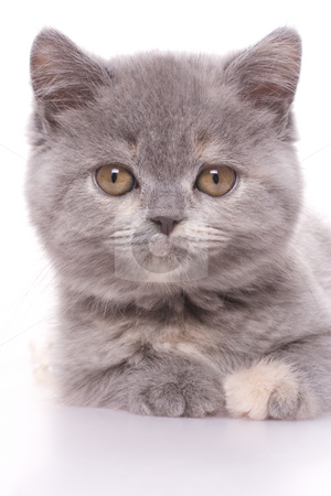 Little kitty stock photo, Little kitty with pearls on a white background by Artem Zamula
