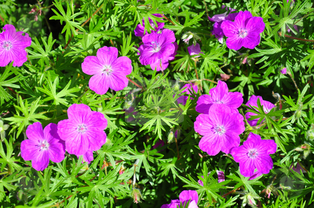 Crane's bill (Geranium) stock photo, Crane's bill (Geranium) by Robert Biedermann