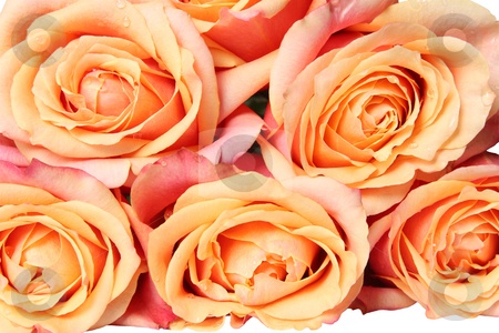 Bouquet of orange roses stock photo, Rose Bouquet in Pastel Color. Isolated on white by Olga Lipatova