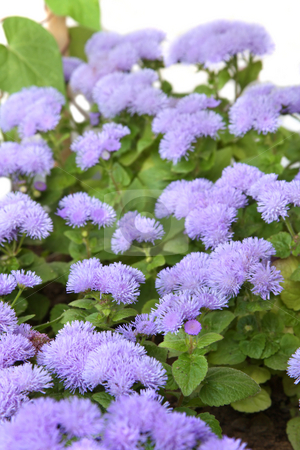 Ageratum stock photo, Ageratum blossom. Isolated on white, shallow DOF by Olga Lipatova