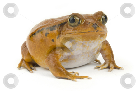 Orange Frog stock photo, Orange tropical frog on a white background by James Steidl