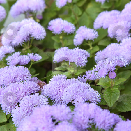 Ageratum flower stock photo, Ageratum blossom. Close-up, shallow DOF by Olga Lipatova