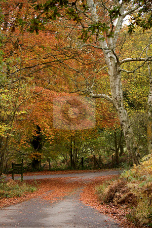 Beech Tree and Lane in Autumn Fall stock photo, Beech Tree and Lane in Autumn Fall by Susan Robinson