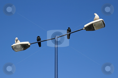 Two seagulls and two crows sharing a lamppost. stock photo, Two seagulls and two crows sharing a lamppost. by Stephen Rees